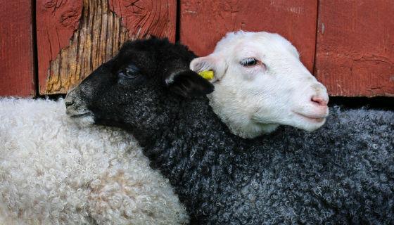 Zwarte en witte schapen